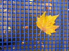 Autumnal Colored Maple Leaf On...