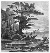 Puerto Del Hambre (Port Famine), Big Tree On Sunset In The North Shore Of The Strait Of Magellan, Chile. Ancient Grey Tone Etching Style Art By De B�rard, Published On Le Tour Du Monde, Paris, 1861
