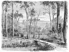 People In Deep Australian Nature With Straight Trees Dalry Station Landscape, Victoria State, Australia. Ancient Grey Tone Etching Style Art By Girardet And Gauchard, Le Tour Du Monde, Paris, 1861