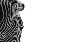 Closeup Of A Zebra On A White ...