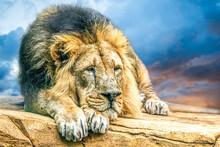 Portrait Of A Resting Male Lion