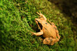 Close-up photo of a Agile frog - Rana dalmatina sitting on moss