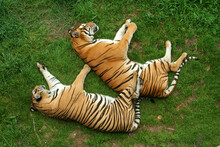 Sleeping Tigers (Panthera Tigris) Seen From Above