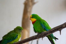 Superb Parrot Polytelis Swainsonii Beautiful Bird On Wooden Branch, Bright Green Colors Feathers, Amazing Animal
