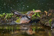 Common Chaffinch In Deep Danube Forest In Summer Season, Slovakia, Europe