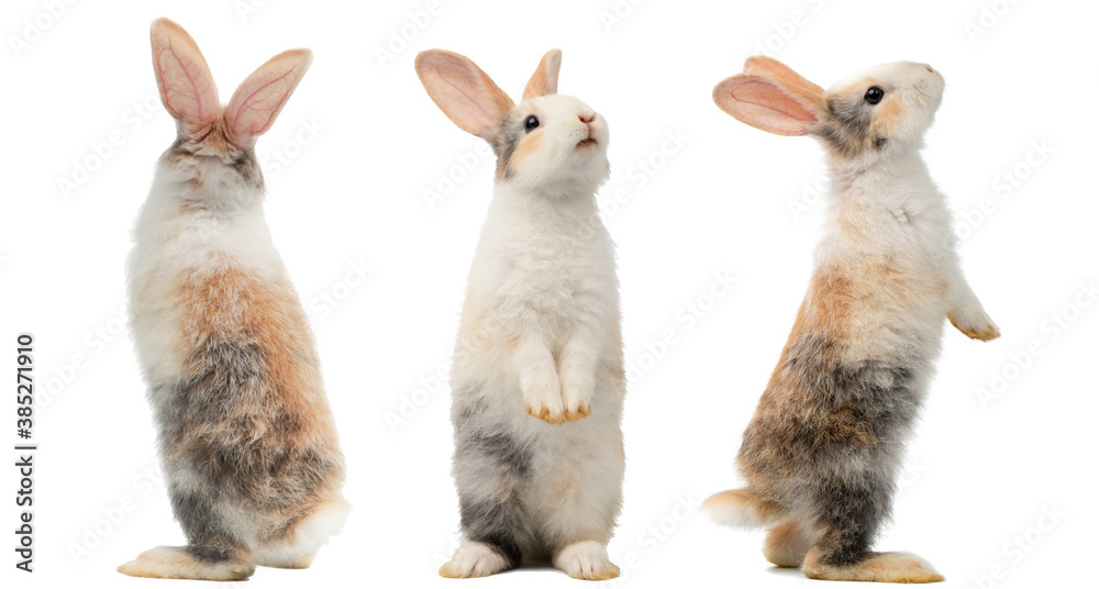 Fototapeta Many different standing poses of three colour cute little rabbits.Lovely action of young rabbits