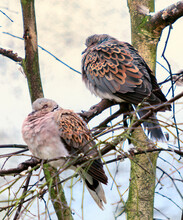 A Pair Of Turtle Doves Perched In A Tree, Heads Hunched And Feathers Fluffed Up Against The Cold Winter Temperature The Distinctive Black And Orange Wing Feathers Contrasted Against The Background