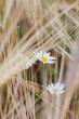Kwiat polny rumianek wśród zbóż i traw