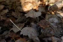Fallen Leaves Of Poplars In Au...