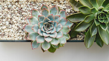 Succulent In Garden - Echeveria