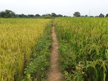 Paddy, Also Called Rice Paddy, Small, Level, Flooded Field Used To Cultivate Rice In Southern And Eastern Asia.  Wet-rice Cultivation Is The Most Prevalent Method Of Farming In The Far East, Where It