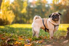A Pug Dog Walks In The Autumn ...