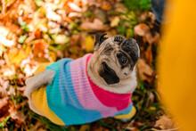 A Pug Dog In A Warm Sweater St...