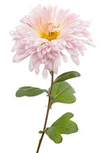 Pink Chrysanthemum Flower, Isolated On White Background