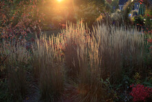 Sun Setting On A Fall Landscape: A Midwest Garden Utilizing Yellow Karl Forester Reed Grasses As A Living Fence.