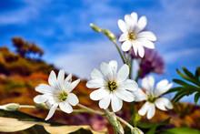 Tiny, White Flowers Of A Jasmi...