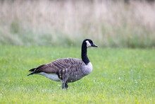 Canada Goose In A Meadow