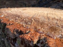 Pine Cutaway. Pine Stump In Re...