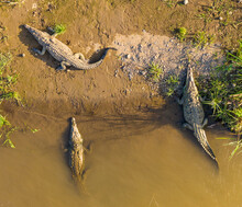 Aerial View Of Crocodiles Basking In The Sun Along The Tarcoles River In Costa Rica.