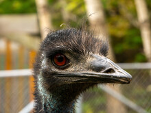 A Emu Staring At You.