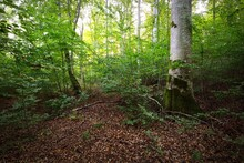 Dark Green Beech Trees, Ancien...