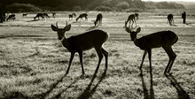 South Texas Deer In Black And White..