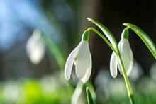 Snowdrop Flower In Spring