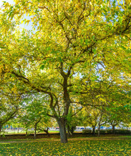 Big Mulberry Tree In Urban Park With Green And Yellow Leaves In Autumn