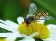 Macro Of A Diligent Bee Among ...