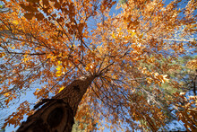 Falls Colors In An Upward View Of A Changing Tree