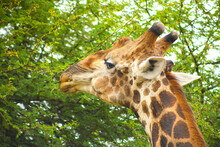 African Giraffe Browsing On A Tree In A South African Wildlife Reserve