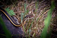 A Garter Snake In The Grass
