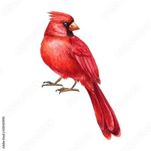 Fotografía Red cardinal, watercolor bird illustration.