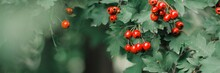 Hawthorn With Red Fruit, Crata...