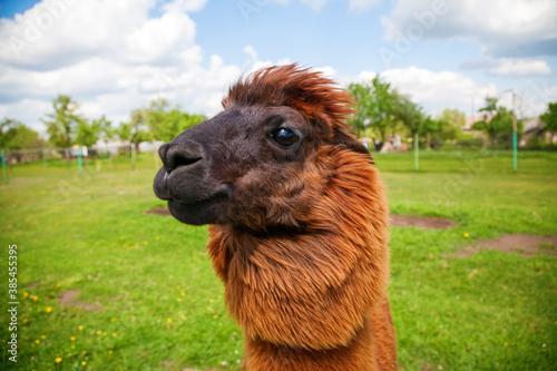 Naklejka premium brown alpaca on a field