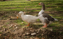 White And Gray Geese Walking O...
