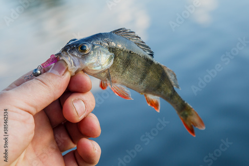 Fotomural Freshly caught European bass