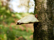 A Large White Bracket Fungus Growing On A Birch Tree