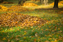 Autumn Leaves Collected In A P...