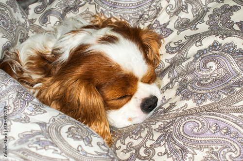 Fotografie, Obraz Dog cavalier king charles spaniel sleeps in bed lying on a pillow and covered wi