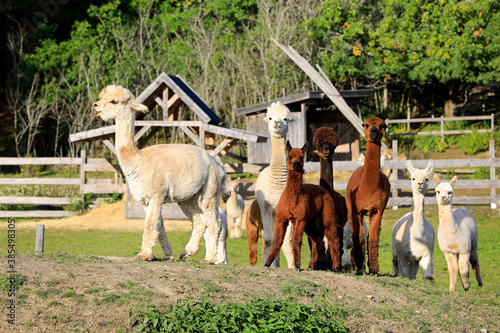 Naklejka premium Herd of Alpacas on Farm