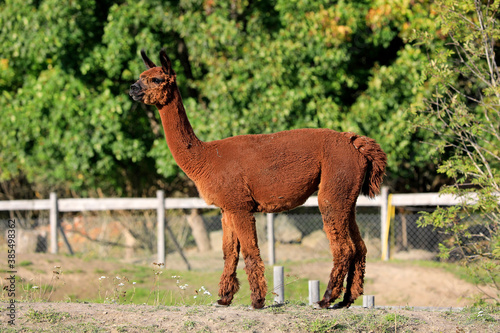 Naklejka premium Brown Alpaca, Vicugna pacos in field