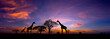 canvas print picture - Panorama silhouette Giraffe family and  tree in africa with sunset.Tree silhouetted against a setting sun.Typical african sunset with acacia trees in Masai Mara, Kenya