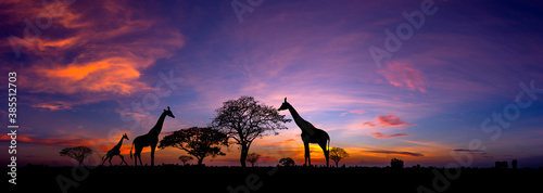 Obraz Panorama silhouette Giraffe family and  tree in africa with sunset.Tree silhouetted against a setting sun.Typical african sunset with acacia trees in Masai Mara, Kenya - fototapety do salonu