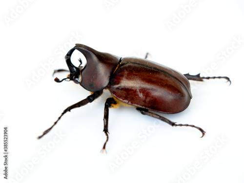 Canvas Print Asiatic rhinoceros beetle or coconut rhinoceros beetle against white background