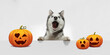 Cute puppy with halloween Jack-o-Lantern pumpkin isolated on white studio background. Meeting the autumn holidays with traditional decoration. Concept of pet's love, fun, sales, ad. Copyspace.
