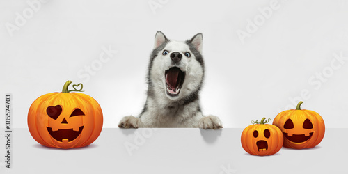 Obraz Cute puppy with halloween Jack-o-Lantern pumpkin isolated on white studio background. Meeting the autumn holidays with traditional decoration. Concept of pet's love, fun, sales, ad. Copyspace. - fototapety do salonu