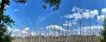 Dead Forest Of Thin White Dead Birch Trees On A Moorland Area Against A Summery Blue Sky