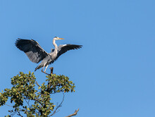 Grey Heron Landing In Tree