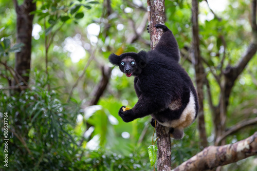 Fototapeta premium An Indri lemur on the tree watches the visitors to the park